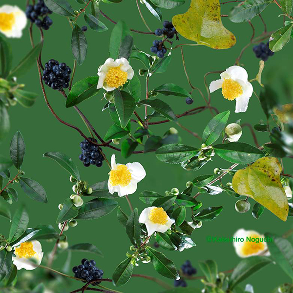 お茶の花とアオツヅラフジ
